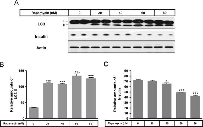 Expression of LC3 and insulin in the presence or absence of rapamycin, in rat INS-1E insulinoma cells. INS-1E cells were incubated in RPMI 1640 medium supplemented with 2% FBS with or without rapamycin (20–80 nM) for 24 h at 37 °C with 5% CO 2 . LC3 and insulin were measured by Western blot (A). The relative amounts of LC3 (B) and insulin (C) were quantified as described in the Methods section. Data represent mean±SD of three experiments. * p