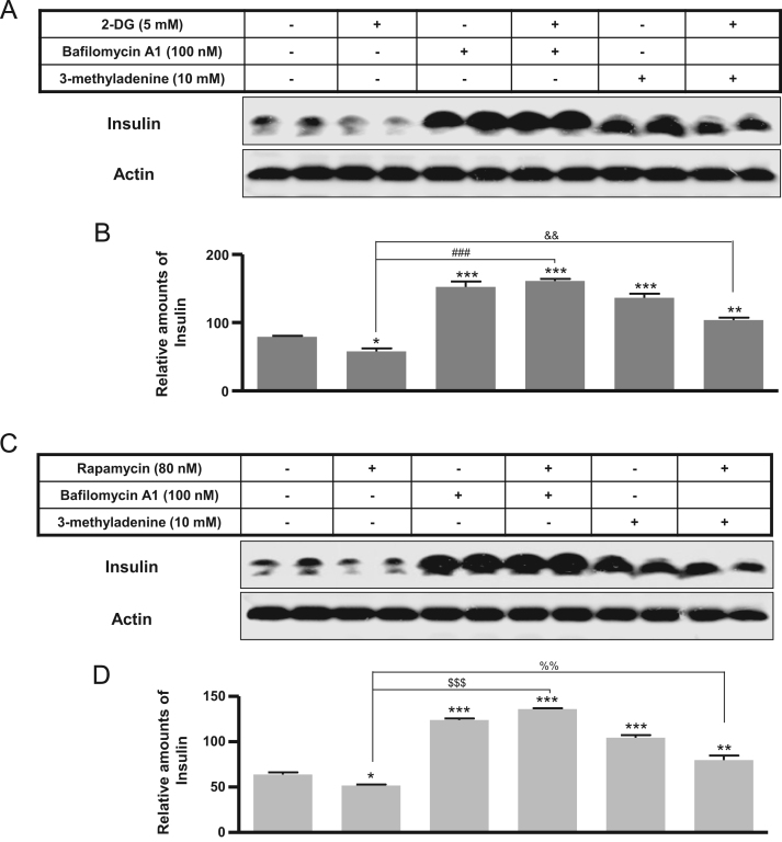 Expression of cellular insulin following bafilomycin A1 or 3-methyladenine treatment with rapamycin in rat INS-1E insulinoma cells. INS-1E cells were incubated in RPMI 1640 medium supplemented with 2% FBS with or without rapamycin (80 nM) for 24 h, and with or without bafilomycin A1 (100 nM) or 3-methyladenine (10 mM) for 6 h at 37 °C with 5% CO 2 . Insulin was measured by Western blot (A) and the relative amounts of insulin (B) were quantified as described in the Methods section. Data represent mean ± SD of three experiments. * p