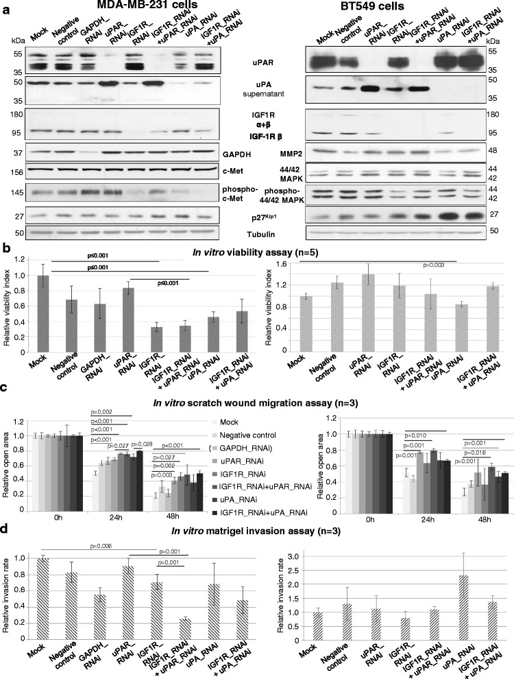 Co-RNAi of uPAS components and of <t>IGF1R</t> significantly reduces malignancy of BT549 and MDA-MB-231 cells. a Representative immunoblottings of uPAR, uPA (supernatant), IGF1R, GAPDH, (phospho) c-Met, MMP2, (phospho) 44/42 MAPK and p27 Kip1 are shown. Tubulin was used as loading control. b WST-1 assay was conducted 48 h ( n = 5), c Scratch wound assays 24 h and 48 h ( n = 3), d Matrigel invasion assays were conducted 48 h after starting the experiment ( n = 3). The quantifications were determined relative to mock