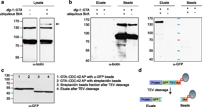 In vivo biotinylation of GTA-tagged protein and removal of endogenously biotinylated proteins by Tobacco etch virus (TEV) cleavage. a Western blot detection of biotinylated proteins in lysed wild-type N2 animals ( left lane ) and lysed animals expressing GTA-tagged DLG-1 and ubiquitously expressed BirA ( right lane ). An additional band of the correct estimated molecular weight for DLG-1::GTA is detected upon expression of BirA ( arrow ). b Western blot analysis of eluate and beads after purification and release of bound bait protein by TEV cleavage. Both blots contain the same samples. The background of naturally biotinylated proteins remains bound to the <t>streptavidin</t> beads and is visible on the α-biotin western blot in the beads remainder, while tagged DLG-1 is cleaved off and visible on the α-GFP western blot in the eluate. No DLG-1 protein is purified in samples from animals not expressing BirA. c Lanes 1 and 2 : Western blot analysis of the levels of GTA::CDC-42 purified with GFP-Trap beads ( lane 1 ) and streptavidin beads ( lane 2 ) from animals expressing BirA in seam and hyp7 epidermal cells. Lanes 3 and 4 : Western blot analysis of beads ( lane 3 ) and eluate ( lane 4 ) after cleavage of GTA::CDC-42 purified with streptavidin beads. d Schematic of the TEV cleavage procedure