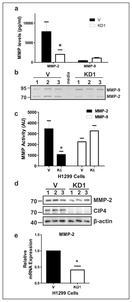 CIP4 promotes MMP-2 expression in NSCLC cells. (a) Concentrations of MMP-2 and MMP-9 proteins in CM from H1299 V and KD1 cells. Values were calculated by Eve Technologies using a human MMP multiplex assay. (b) Gelatin zymography of CM from H1299 V and KD1 cells. 10 μg protein per lane were analyzed. Positions of MMP-2 and MMP-9 activity are indicated on the right with size markers on the left. (c) Quantification of MMP-2 and MMP-9 activity by gelatin zymography. Bands of gelatin digestion for MMP-2 and MMP-9 from H1299 V and KD1 CMs were measured by densitometry. (d) IB analysis of MMP-2 in H1299 V and KD1 cell lysates (10 μg protein per lane). Positions of MMP-2, CIP4 and β-actin are shown on the right with size markers on the left. (e) Relative expression of MMP-2 transcripts in H1299 V and KD1 cells. Total RNA was isolated and analyzed by qRT-PCR using MMP-2 specific primers and normalized to GAPDH expression. All experiments were performed 3 times in triplicate (Graphs are shown as the mean ± SEM, * indicates significant differences between cell lines ( P