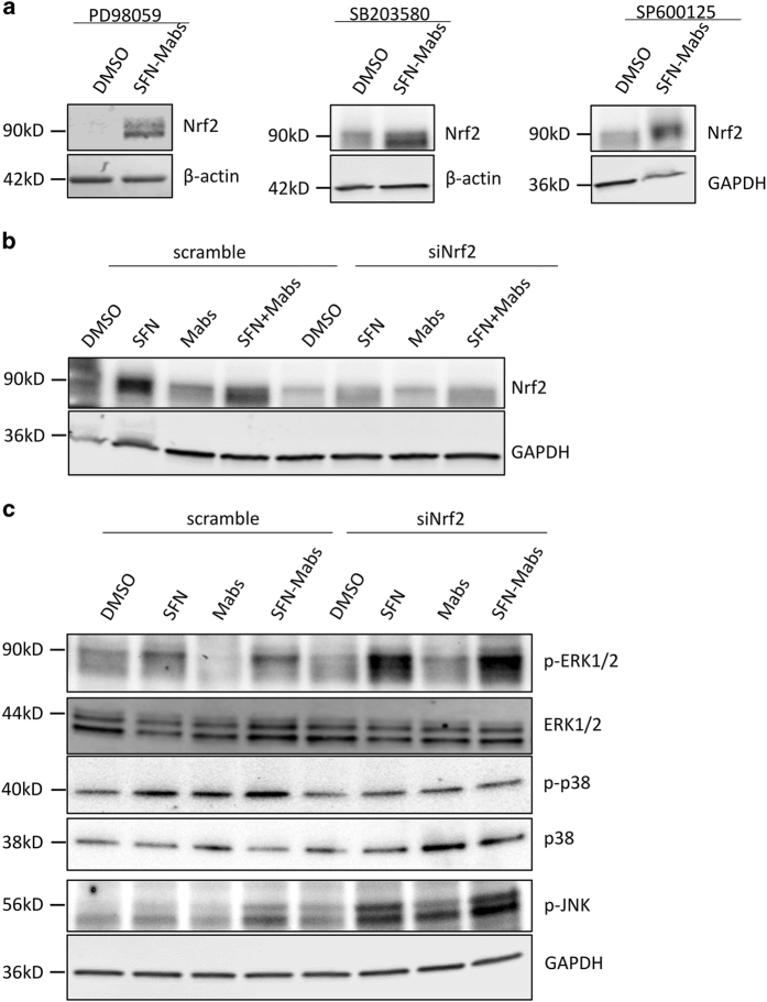 Nrf2 signaling pathway regulates MAPK cascade. ( a ) THP-1-derived macrophages were pretreated with MAPK-specific inhibitors PD98059, SB203580, and SP600125 of ERK, p38, and JNK, respectively, 2 h before SFN stimulation and/or Mabs infection. Cells were lysed 24 h after infection and protein lysates were analyzed by western blot. ( b ) THP-1-derived macrophages were transfected with scrambled or Nrf2 siRNA 24 h before SFN stimulation and/or M. abscessus infection. Cells were incubated for an additional 24 h after infection before lysis and western blots were performed using Nrf2 antibody and GAPDH antibody, as an internal control. ( c ) Immunoblots were performed on total protein lysates using specific phosphorylated antibodies against ERK, JNK, and p38.