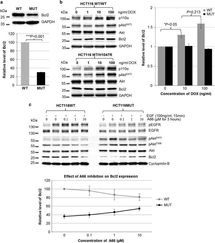 The H1047R mutation in the p110 α kinase domain of PI3K affected Bcl-2 expression level. ( a ) Endogenous level of Bcl-2 in HCT116 WT and MUT cells. Endogenous level of Bcl-2 in HCT116 WT and MUT cells was measured by immunoblotting analysis (top). The graph shows the quantification of Bcl-2 bands normalized by glyceraldehyde 3-phosphate dehydrogenase (GAPDH) for three individual experiments (bottom). The Bcl-2 level in HCT116 WT cells was at least three times higher than in HCT116 MUT cells. ( b ) Effects of overexpressing WT-p110 α and H1047R-p110 α on Bcl-2 levels. HCT116 WT cells, which were transfected with the Tet-On 3G-inducible plasmids pTRE3G-BI-mCherry/p110 α WT or pTRE3G-BI-mCherry/p110 α H1047R , were cultured in the medium containing indicated concentration of doxycycline (DOX; left). Their Bcl-2 levels were measured by immunoblotting analysis (left). The graph shows the quantifications of Bcl-2 bands of two different clones from the individual cell lines (right). Overexpression of WT-p110 α resulted in a DOX dose-dependent increase in Bcl-2 levels, however, Bcl-2 levels were not verified by overexpression of H1047R-p110 α . ( c ) Effect of p110 α inhibition on Bcl-2 levels. HCT116 WT and MUT cells were serum starved overnight, subsequently cultured in the presence of A66 at the indicated concentrations for 3 h, and then followed by 100 ng/ml EGF stimulation for 20 min. Immunoblotting analysis was used to measure Bcl-2 levels in HCT116 WT (left) and MUT (right) cells. The graph shows the quantifications of expression Bcl-2 levels in HCT116 WT and MUT cells on treatment of A66 (bottom panel). Data are the average of two independent experiments. Bcl-2 levels in HCT116 MUT cells was A66 dose-dependently increased, however, an A66 dose-dependent decrease was observed in HCT WT cells.
