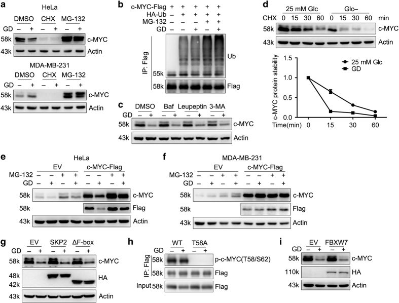 Glucose deprivation differentially affects c-MYC protein stability in HeLa and MDA-MB-231 cells. ( a ) Western blot detection of c-MYC in HeLa and MDA-MB-231 cells treated with CHX (0.1 mM) and MG-132 (10 μ M) in the presence or absence of 25 mM glucose for 12 h. ( b ) HEK293T cells cotransfected with c-MYC-Flag and HA-Ub were treated with MG-132 in the presence or absence of glucose for 12 h. Ubiquitination of c-MYC was determined. ( c ) Western blot detection of c-MYC in HeLa cells treated with Bafilomycin A1 (Baf) (500 nM), Leupeptin (10 μ g/ml) or 3-MA (1 mM) in the presence or absence of glucose for 12 h. ( d ) HeLa cells were treated with CHX for the indicated time in the presence or absence of glucose. Representative immunoblots of c-MYC in three independent experiments were shown. Bottom, quantification of the c-MYC levels was shown. ( e and f ) HeLa ( e ) and MDA-MB-231 ( f ) stable cells ectopically expressing c-MYC-Flag were treated with MG-132 in the presence or absence of glucose. Exogenous c-MYC stability was examined. ( g ) Western blot detection of c-MYC in HeLa stable cells expressing WT HA-SKP2 or HA-tagged dominant negative mutant HA-SKP2(ΔF-box) under GD condition for 12 h. ( h ) HEK293T cells were transfected with WT-c-MYC-Flag or c-MYC(T58A)-Flag. Cell lysates were subjected to immunoprecipitation and phosphorylation of c-MYC was examined. ( i ) Western blot detection of c-MYC in HeLa stable cells expressing FBXW7 treated as in g .