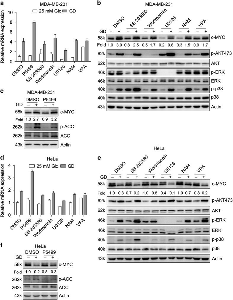 Glucose deprivation increases c-MYC transcription partially through ERK signaling pathway in MDA-MB-231 cells. Quantitative RT-PCR ( a ) and Western blot ( b and c ) detection of c-MYC in MDA-MB-231 cells treated with different chemical inhibitors for 12 h in the medium with or without glucose. The indicated chemical inhibitors are AMPK inhibitor P5499 (10 μ M), p38/MAPK inhibitor SB 203580 (10 μ M), PI3K/AKT inhibitor Wortmannin (10 μ M), ERK/MEK inhibitor U0126 (10 μ M), SIRT inhibitor NAM (1 mM) and HDAC inhibitor VPA (1 mM). ( d–f ) HeLa cells were treated and detected as that of MDA-MB-231 in a–c . Quantitative RT-PCR values were relative to the DMSO group with 25 mM Glc and normalized to 18S. Data of three independent experiments are shown.