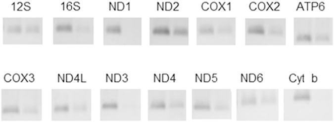 The assay of mitochondrial RNA expression efficiency by RT-PCR. Left bands are from 143B mt-R RNA cDNA and right bands are from 143B-206 ρ ° mt-R cDNA.