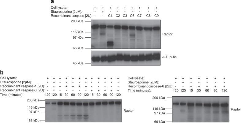 In vitro cleavage of raptor by recombinant caspase-1 and -6. ( a ) Jurkat T-cell lysates were incubated with two units of recombinant caspase-1 (C1), caspase-2 (C2), caspase-3 (C3), caspase-6 (C6), caspase-7 (C7), caspase-8 (C8) or caspase-9 (C9) and raptor cleavage was monitored and compared with a STS-treated Jurkat T-cell lysate. ( b ) Time-dependant in vitro cleavage of raptor by caspase-1, -3 or -6 in Jurkat T-cell lysates using two units of each recombinant proteins.
