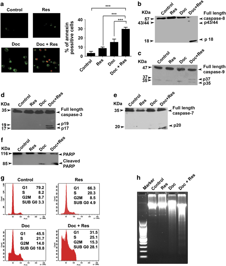 Resveratrol enhances docetaxel-induced apoptosis in SK-BR-3 cells. ( a ) Cells were treated with resveratrol and/or docetaxel for 16 h and stained for Annexin V–propidium iodide (PI) positivity. Annexin V-positive cells in different fields were counted and the average was taken. The green-stained cells are those that have taken only the Annexin V–FITC stain and represent initial stages of apoptosis, and the red-stained cells are those that have taken up both Annexin–FITC and PI, which indicates nuclear membrane damage, and hence represent later stages of apoptosis. Representative histograms indicate percentage of annexin-positive cells. *** P -value ≤0.001.( b – e ) Resveratrol-mediated enhancement of docetaxel-induced caspase activation. Whole cell lysate of cells treated with docetaxel and/or resveratrol for 48 h were blotted against caspase antibodies. ( f ) Resveratrol enhances docetaxel-induced PARP cleavage. Whole-cell extracts were blotted against anti-PARP antibody. ( g ) Effect of docetaxel and resveratrol, alone or in combination, on cell cycle. Cells were collected 48 h post drug treatment, fixed in alcohol, stained with propidium iodide and assayed for DNA content by flow cytometry. ( h ) The effect of docetaxel and/or resveratrol on inter-nucleosomal DNA fragmentation. Cells were treated with docetaxel and/or resveratrol for 48 h, DNA was isolated, run on an agarose gel and visualized. All experiments were repeated at least three times to confirm the reproducibility.
