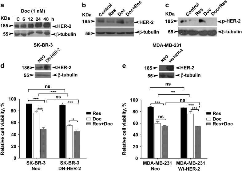 Resveratrol downregulates docetaxel-induced activation of HER-2. ( a Kinetics of docetaxel (1 nM)-induced activation of HER-2 in SK-BR-3 cells (0–48 h). The whole-cell lysate of docetaxel-treated cells at different time intervals was immunoblotted against HER-2 antibody. ( b and c ) Effect of resveratrol treatment on docetaxel-induced overexpression and activation of HER-2 in SK-BR-3 cells. Cells pretreated with resveratrol for 24 h were further exposed to docetaxel and/or resveratrol for another 24 h and immunoblotted against specific antibodies. β -Tubulin is used as loading control. ( d ) Effect of HER-2 inhibition on synergism in SK-BR-3 cells. Cells were transiently transfected with vector control and DN-HER-2, respectively. ( e ) Effect of ectopic expression of HER-2 on synergism in MDA-MB-231 cells. Cells were transfected with vector control and WT-HER-2, respectively. The efficacy of transfection was confirmed using western blotting and cell viability was assessed in the transfected cells using MTT assay after treatment with docetaxel and resveratrol alone, or in combination for 48 h in both cases.