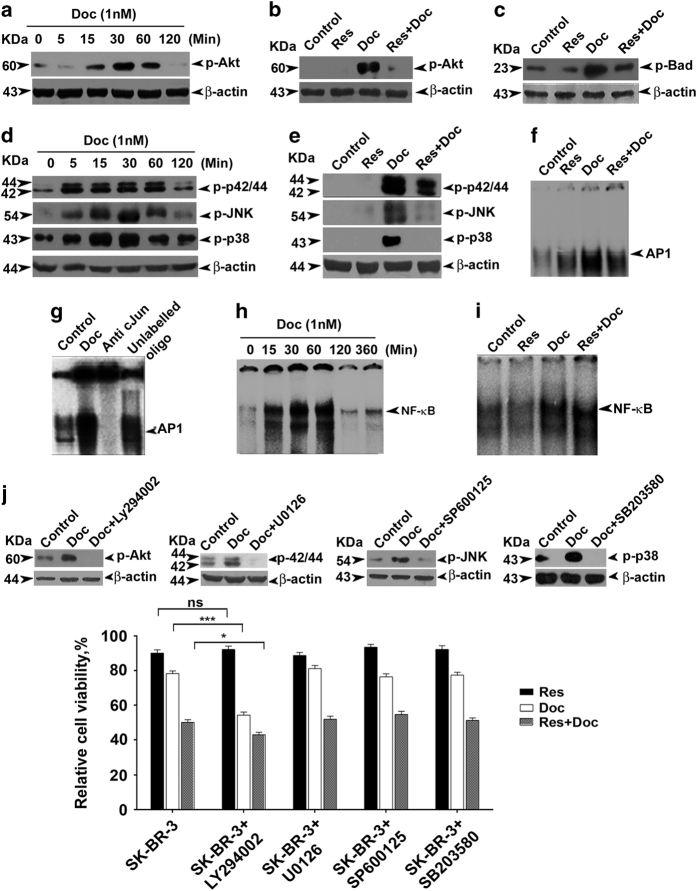 Akt is the regulator of the synergism, although resveratrol downregulates docetaxel-induced upregulation of Akt and MAPK pathways in SK-BR-3 cells. ( a ) Kinetics of docetaxel-induced activation of Akt. Cells were treated with docetaxel for different time intervals (0–2 h). The whole-cell lysate was immunoblotted against phospho-Akt (ser473) antibody. ( b ) Resveratrol-mediated downregulation of docetaxel-induced activation of Akt. Western blot analyses were performed with anti-phospho-Akt (ser473) using whole-cell lysates prepared after 30 min exposure to docetaxel. ( c ) Effect of resveratrol on docetaxel-induced upregulation of phospho-Bad. Western blot analysis was performed against anti-phospho-Bad (ser136). ( d ) Kinetics of activation of MAPKs by docetaxel (0–2 h). The whole-cell lysate was immunoblotted against phospho-specific antibodies of ERK1/2, JNK and p38. ( e ) Resveratrol downregulates docetaxel-induced upregulation of various MAPKs. β -Actin was used as loading control in all cases. ( f ) Inhibition of docetaxel-induced activation of AP-1 by resveratrol. Nuclear extracts prepared after exposing the cells to docetaxel and resveratrol, either alone or in combination for a period of 1 h, were assayed for AP-1 activation by EMSA. ( g ) Super-shift analysis using anti-c-jun antibody to indicate band specificity. ( h ) Kinetics of docetaxel-induced activation of NF- κ B. Nuclear extracts were prepared after exposing the cells to 1 nM docetaxel for different time intervals (0–3 h) and NF- κ B status was assessed by EMSA. ( i ) Individual and combined effects of docetaxel and resveratrol for a period of 30 min on NF- κ B activation. NF- κ B activation was assayed by EMSA. ( j ) Effect of docetaxel and resveratrol, alone or in combination, in cells treated with Akt and MAPKs inhibitors. Cells (5×10 3 ) in triplicates were pretreated with resveratrol, LY294002 (1 μ M), U0126 (5 μ M), SP600125 (5 μ M) and SB203580 (1 μ M), followed by docetaxel treatment for 4