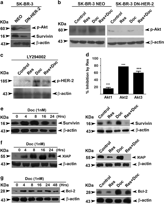 Docetaxel-induced upregulation of XIAP, survivin and Bcl-2 are downregulated by resveratrol in SK-BR-3 cells. ( a ) Effect of HER-2 inhibition on activation of Akt and downstream target survivin. ( b ) Effect of HER-2 inhibition on docetaxel-induced upregulation of phospho-Akt. ( c ) Effect of Akt inhibition on docetaxel-induced activation of HER-2. Western blotting analysis was done using specific antibodies against each molecule and β -actin was used as loading control in all cases. ( d ) Resveratrol-mediated inhibition of kinase activity of all three classes of Akt. The study was performed using z-lite biochemical assay platform. ( e ) Kinetics of docetaxel-induced activation of survivin and the inhibition of the same by synergistic combination of resveratrol and docetaxel. The cells were treated with docetaxel for different time intervals (0–24 h) and the whole-cell lysates were immunoblotted against anti-survivin. The cells were pretreated with resveratrol for 24 h followed by docetaxel alone or in combination with resveratrol for 8 h and immunoblotted against survivin antibody. ( f ) Kinetics of docetaxel-induced activation of XIAP and inhibition of the same by synergistic combination of resveratrol and docetaxel. The cells were treated with docetaxel for different time intervals (0–24 h). Western blotting analysis was done against anti-XIAP. The cells were pretreated with resveratrol for 24 h followed by docetaxel alone or in combination with resveratrol for another 16 h and western blot analysis was performed using antibody against anti-XIAP. ( g ) Kinetics of docetaxel-induced activation of Bcl-2 and inhibition of the same by synergistic combination of resveratrol and docetaxel. Cells were treated with of docetaxel for different time intervals (0–48 h). Western blot analysis was performed against anti-Bcl-2. Cells were pretreated with resveratrol followed by combination of resveratrol and docetaxel for 4 h. Whole-cell lysate was immunoblotted using anti-Bcl