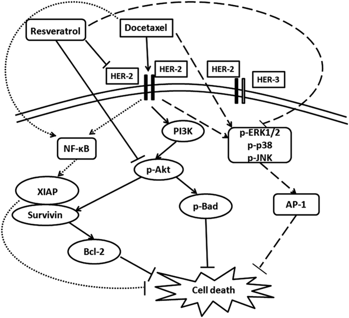 Proposed model for the synergistic effect of docetaxel and resveratrol. Resveratrol downregulates docetaxel-induced upregulation of HER-2, Akt and MAPKs, while that of NF- κ B is unaffected. The study postulates that docetaxel-induced upregulation of HER-2–Akt signaling and the downregulation of the same by resveratrol is the main mechanism governing the synergistic effect of docetaxel and resveratrol in HER-2-overexpressing breast cancer cells. Although MAPK pathway does not regulate the synergism, it is getting activated by docetaxel and downregulated by resveratrol. The bold lines indicate the signaling pathways regulating the synergism, whereas the dotted lines represent those that do not have any role in the same.