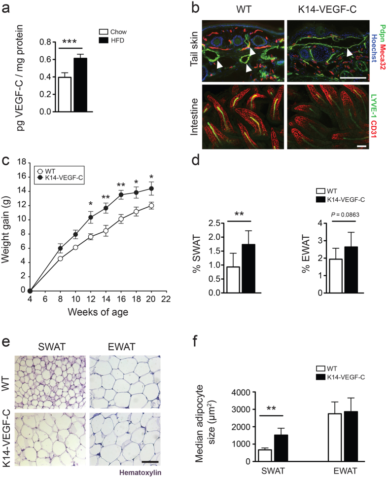 1 Increased weight gain and adipose tissue accumulation in K14-VEGF-C mice. ( a ) ELISA analysis revealed increased murine VEGF-C levels in SWAT of obese mice that were kept under HFD for 20 weeks. ( b ) Immunofluorescence analysis of tail skin showing enlarged lymphatic vessels (podoplanin, Pdpn, green) in K14-VEGF-C mice, while whole-mount immunostains of intestinal villi showed no differences in lacteal (LYVE-1, green) or blood vessel (CD31, red) structure between WT and K14-VEGF-C mice. ( c ) K14-VEGF-C mice gained more weight than WT littermates ( n = 8 per group, mean ± SEM is shown, * p