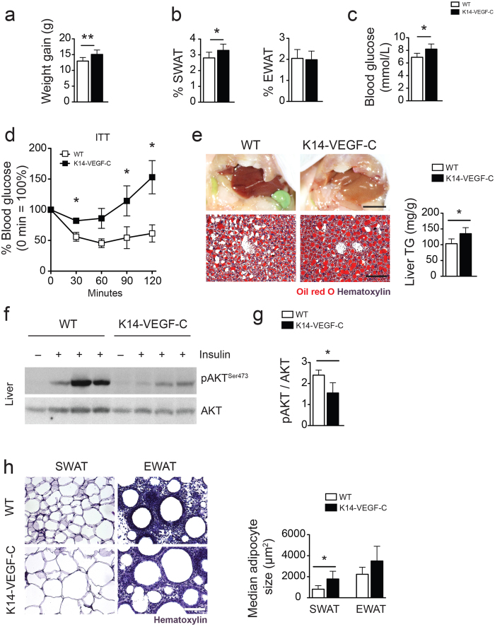 K14-VEGF-C mice show increased insulin resistance under HFD. ( a ) Increased body weight and ( b ) SWAT %, while EWAT % remained unaltered in K14-VEGF-C mice under HFD. ( c ) Fasting blood glucose was significantly elevated in K14-VEGF-C mice. ( d ) Insulin tolerance test ( n = 5 per group, mean ± SEM is shown, * p