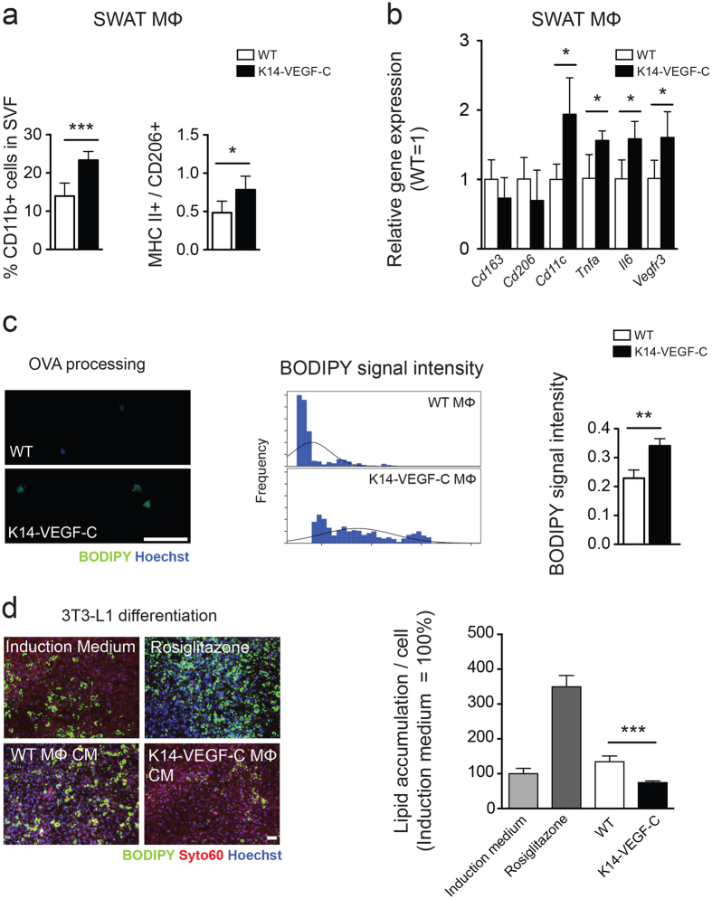 SWAT macrophages of K14-VEGF-C mice show enhanced pro-inflammatory characteristics before the onset of increased adiposity. ( a ) Data from 22-week-old mice, ( b–d ) data from 14-week-old mice; prior to the onset of weight gain. ( a ) Increased percentage of CD11b+ cells in SWAT stromal vascular fraction, with a significant elevation of M1/M2 macrophage marker ratios in K14-VEGF-C mice. ( b ) Gene expression analysis of M2 (CD163, CD206) and M1 (CD11c, TNF-α, IL6) markers showed a boosted M1 phenotype in isolated K14-VEGF-C SWAT macrophages from 14-week-old mice ( n = 3–4). ( c ) Increased BODIPY fluorescence signal revealed by enhanced OVA processing of K14-VEGF-C SWAT macrophages; histograms show the distribution of BODIPY signal intensity and the corresponding quantification per mouse ( n = 3 mice per group, scale bar = 100 μm). ( d ) Conditioned media from SWAT macrophages of K14-VEGF-C, but not WT mice, significantly reduced the differentiation of 3T3-L1 cells in vitro ( n = 4 mice per group, scale bar = 200 μm). ** p