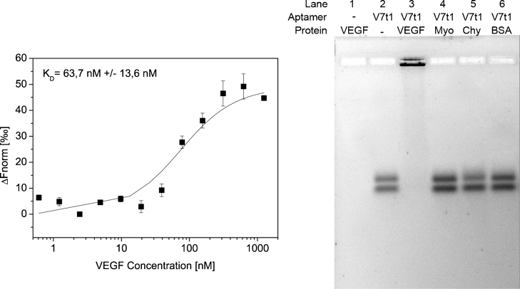 Characterization of aptamer target binding via microscale thermophoresis and electrophoresis mobility shift assay (EMSA). Left: saturation curve of V7t1 aptamer and VEGF. Cy3-labeled V7t1 was incubated with different concentrations of VEGF and afterwards analyzed by microscale thermophoresis as three-fold replicates. A K D of 75.9 nM ± 13.0 nM was determined for this interaction. Right: analysis of aptamer binding to the target protein VEGF and the non-target proteins myoglobin (Myo), α-chymotrypsin (Chy) and bovine serum albumin (BSA) via EMSA. The Cy3-labeled aptamer V7t1 was incubated with an excess of protein, respectively. Afterwards the samples were analyzed by agarose gel electrophoresis. Pure VEGF and V7t1 were used as negative controls, respectively. Results of the EMSA demonstrate a specific binding of V7t1 to VEGF in comparison to the other tested proteins.