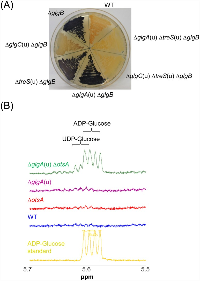 Compensatory flux of ADP-glucose through GlgA and OtsA links the GlgC-GlgA and TreS-Pep2 routes for α-glucan production. (A) α-Glucan visualization in M . smegmatis mutant strains. Cells were cultivated on Middlebrook 7H10 agar plates for 3 days and exposed to iodine vapor for staining of α-glucans. Branched α-glucans give a pale red-brown color. In the absence of branching enzyme GlgB, long linear glucans are produced resulting in a dark blue color of cells with the intensity of staining correlating with the amount of total cellular α-glucans. (B) Analysis of nucleotide sugar diphosphates in cell extracts of M . smegmatis mutant strains. Cells were cultivated for 24 h in Middlebrook 7H9 liquid medium. Due to trehalose auxotrophy of the M . smegmatis Δ glgA (u) Δ otsA mutant, 50 μM trehalose was added to all cultures. Cell suspensions were normalized to OD 600 nm , washed with PBS, concentrated 50-fold and disrupted by bead beating. Cell-free extracts were heat inactivated for 15 min at 100°C, and 1 H NMR spectroscopy was used to detect the anomeric protons of ADP-glucose.