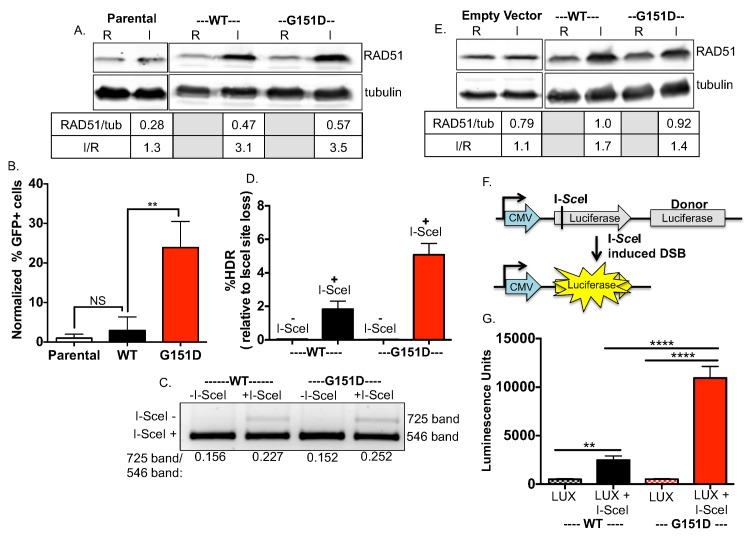 Enhanced HDR of chromosomal DSBs in cell lines expressing RAD51 G151D. A. RAD51 WT and G151D were stably expressed in MCF7 cells harboring the I- Sce I reporter construct using the pRVY TET-OFF inducible expression vector. The addition of doxycycline to the media turns off exogenous RAD51 expression (repressed, abbreviated R; endogenous RAD51 protein levels only), with expression induced upon removal of DOX (induced, abbreviated I; endogenous levels + exogenous protein levels). Western blot with an antisera raised against RAD51 protein demonstrates equivalent expression of exogenous WT and G151D (I) in their respective MCF-7 DR-GFP pools (RAD51/tubulin), as well as the fold increase in expression over endogenous RAD51 (I/R). B. The percentage of GFP positive cells was measured by flow cytometry 72hrs after nucleofection with an I- Sce I expression vector. The percentage of GFP-positive cells from MCF-7 DR-GFP parental cells was normalized to 1 and the relative change of percent GFP-positive cells from MCF-7 DR-GFP RAD51 WT and G151D cells was calculated. Data are graphed as mean ± SD from 3 independent experiments ** p