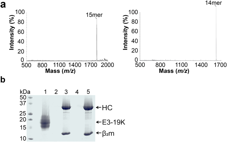 Characterization of HLA-B*0801/precursor complexes. ( a ) MALDI-TOF MS analysis of HLA-B*0801/(RA) 3 ALRSRYWAI and HLA-B*0801/(RA) 3 AAKKKYKL complexes shows peaks corresponding to (RA) 3 ALRSRYWAI 15mer ( m/z = 1817) and (RA) 3 AAKKKYKL 14mer ( m/z = 1631) ligands. ( b ) Ni-NTA agarose beads were used in the capture of Ad4 E3-19K(His) 6 (lane 1), HLA-B*0801/ALRSRYWAI (lane 2), HLA-B*0801/(His) 6 ALRSRYWAI (lane 3), HLA-B*0801/AAKKKYKL (lane 4), and HLA-B*0801/(His) 6 AAKKKYKL (lane 5). The supernatants of the pelleted, washed, and boiled beads were loaded on SDS-PAGE gel (15%).