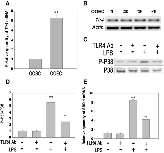 LPS stimulates the expression of SBD-1 through TLR4. a Tlr4 mRNA expression of ovine oviduct stromal cells (OOSCs) and epithelial cells (OOECs) was assessed by qRT-PCR. b PCR was conducted to examine the expression of TLR4 in the ovine oviduct epithelial cells harvested at different times. c Western blotting was performed to examine the expression levels of P38 MAPK after treatment with LPS (100 ng/mL) or a TLR4 neutralizing antibody for 12 h. d The densitometric analysis of the bands on the western blotting showed that LPS could markedly activate P38 MAPK, while the separate addition of the TLR4 neutralizing antibody had no effect. However, treatment with the TLR4 neutralizing antibody could significantly decrease the levels of phosphorylated P38 induced by LPS. e QRT-PCR analysis was used to examine the mRNA levels of SBD-1 after treatment with the TLR4 neutralizing antibody for 12 h. Blocking TLR4 activity could inhibit the expression of SBD-1. All of the experiments were repeated at least three times. * p