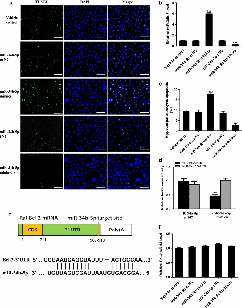 miR-34b-5p promotes KA-induced astrocytes apoptosis by targeting Bcl-2. a Representative images of three repeated TUNEL staining experiments on cultured astrocytes. The astrocytes are pre-treated with of miR-34b-5p mimics, inhibitors, mimics negative control (mNC), and inhibitors negative control (i NC), followed by KA treatment; scale bar 50 μm. b Relative miR-34b-5p levels after different treatments; (one-way ANOVA, n = 5, F 4 ,20 = 866.9, *** P