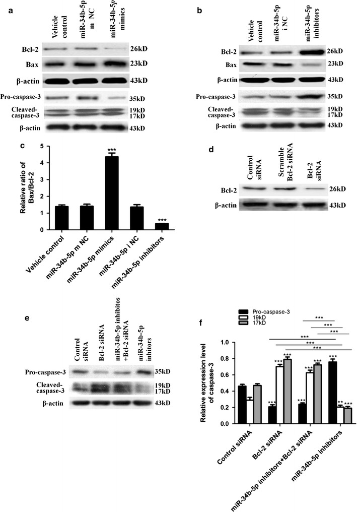 miR-34b-5p regulation of astrocyte apoptosis through mediating Bcl-2 expression level. a , b Western blot analysis for Bcl-2, Bax, pro-caspase-3, and cleaved caspase-3. Cell lysates were prepared from astrocytes treated with vehicle control, mimics negative control (m NC) or inhibitors negative control (i NC), miR-34b-5p mimics or inhibitors. c Bax/Bcl-2 protein ratio after quantitative analysis (one-way ANOVA, n = 5, F 4,20 = 123.8, *** P