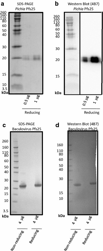 SDS-PAGE and Western blot <t>(4B7)</t> of Pichia and baculovirus <t>Pfs25.</t> a SDS-PAGE and b Western blot using 4B7 monoclonal antibody of purified Pfs25 from Pichia under reducing conditions (non-reduced not show). c SDS-PAGE and d Western blot using 4B7 monoclonal antibody of non-reduced and reduced purified Pfs25 from baculovirus