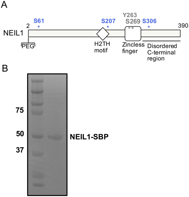 Sites of phosphorylation within the NEIL1 DNA glycosylase. (A) Domain map of NEIL1 indicating the position of known sites of phosphorylation. The residues S207, S306, and S61 identified in this study are shown in blue and the Y263 and S269 sites previously identified [ 39 ] are indicated in black. (B) SDS-PAGE gel of SBP-tagged NEIL1 after affinity pull-down from HEK293T cell-extracts overexpressing NEIL1. The gel was stained with Coomassie blue and the NEIL1-SBP band was cut from the gel and digested with trypsin for identification of phosphorylated peptides via LC-MS/MS.