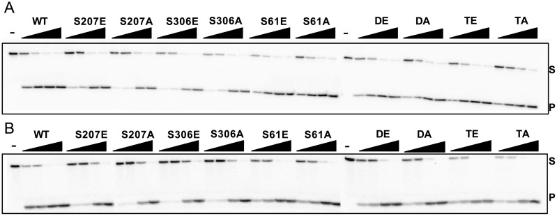 "Glycosylase and lyase activity panel for human NEIL1-WT and the phosphomimetic/ablating mutants. Glycosylase assays were performed by incubating 20 nM of double-stranded DNA substrates (A) Sp:C and (B) AP:C and increasing amounts of enzyme with the following substrate to enzyme ratios: 1:0.5, 1:1, 1:4, and 1:16. ""-"" indicates a no enzyme negative control. Assays were performed at room temperature for 30 minutes. S and P indicate substrate and product, respectively. Data shown are representative of duplicate experiments."
