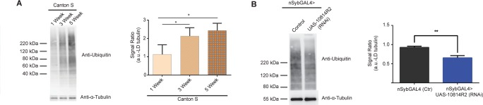 CG10814 knockdown in the nervous tissue results in a rescue of age-dependent ubiquitination profile:  (A), Ubiquitin levels (indicative of protein aggregates) detected in Triton X-100 insoluble fraction of heads from wild type Canton S aging flies, at 1, 3, 5, and 7 weeks of age and respective quantification of ubiquitin-conjugated proteins normalized to α-tubulin levels (*p