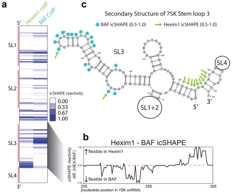 Two distinct 7SK RNA conformations in 7SK-BAF vs 7SK-Hexim complexes a , icSHAPE of Hexim1- or BAF-associated 7SK snRNA. The first 5 and last 15 nucleotides are not analyzed for structural reactivity and highly reactive bases are shown as blue. b , icSHAPE difference analysis between Hexim1- or BAF-associated 7SK from nucleotides 205 to 305. Positive values indicate more single stranded in Hexim1 and negative values are bases more reactive in BAF. c , Secondary structure prediction of the 7SK snRNA with nucleotides differentially reactive in Hexim1- or BAF-associated structures (above icSHAPE values of 0.5). Stem loops (SL) 1, 2, and 4 are cartooned as loops.