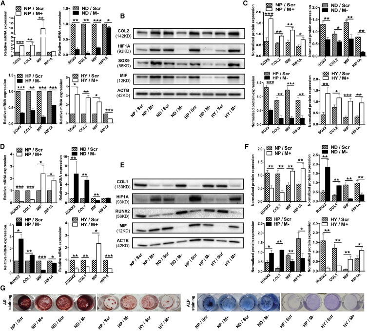 HIF1A Regulated Chondro-Osteogenic Differentiation of CESCs by <t>MIF</t> CESCs assigned to normoxia + PBS (NP) and hypoxia + YC1 (HY) groups, in which MIF expression should have been relatively low, were transfected with MIF -overexpressing <t>lentiviral</t> vector system (M+) and its scramble control (Scr). CESCs assigned to normoxia + DMOG (ND) and hypoxia + PBS (HP) groups in which MIF expression should had been relatively high were transfected with MIF <t>-shRNA</t> (M−) and its scramble control (Scr). (A) SOX9 , COL2 , HIF1A , and MIF gene expression were assessed by RT-PCR of mRNA from CESCs induced in CIM. (B and C) Western blot analysis of the expression of SOX9, COL2, HIF1A, and MIF in samples treated under the conditions in (A). (D) RUNX2 , COL1 , HIF1A , and MIF gene expression were assessed by RT-PCR of mRNA from CESCs induced in OIM. (E and F) Western blot analysis of the expression of RUNX2, COL1, HIF1A, and MIF in the samples treated under the conditions in (D). (G) Macrographs of alizarin red staining and ALP staining of CESCs treated under the conditions in (D). Data represent the mean ± SD (n = 3 independent experiments, t test). ∗ p
