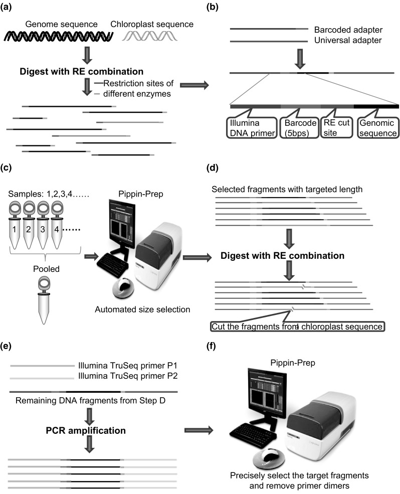 Workflow of modified RAD-seq library construction. a shearing the cellular DNA into fragments, b ligating the adapters to fragment ends, c pooling of samples and fragment size selection, d second round of digestion to remove the DNA fragments from rRNA genes and chloroplast sequence, e PCR amplification, f second round of fragment size selection