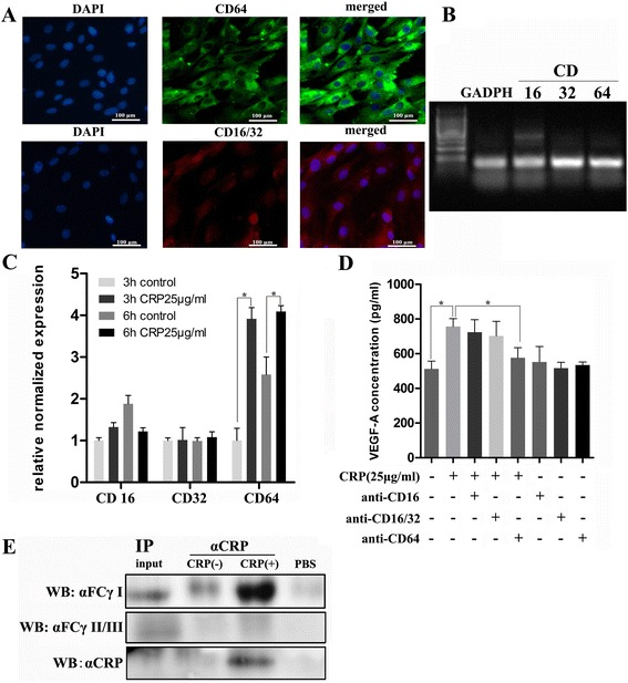 CD64 mediated CRP-induced VEGF expression regulation in ADSCs. a Immunofluorescence staining of ADSCs for FcγRIII (CD16), FcγRII (CD32), and FcγRI (CD64) expression in ADSCs. b mRNA expression of CD16, CD32, and CD64 detected by PCR amplification and agarose gel electrophoresis. c CRP stimulation significantly increased CD64 mRNA expression in ADSCs, whereas no significant difference was detected in CD16 and CD32, * p