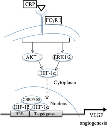 Schematic representation of the molecular mechanism for CRP regulation of VEGF in ADSCs. CRP binds to the membrane surface antigen FCγRI (CD64) on ADSCs and then induces ERK1/2 and Akt phosphorylation, which activates HIF-1α to enter the nucleus and bind to hypoxia-response element sites in the VEGF promoter, stimulating VEGF gene and protein expression. CRP C-reactive protein, VEGF vascular endothelial growth factor, HIF-1α , hypoxia inducible factor-1α, HRE hypoxia-response element