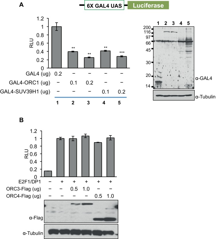 ORC1 binds SUV39H1 to control Cyclin E gene transcription. ORC1, but not ORC3 or ORC4 can repress gene transcription. ( A ) The U2OS cells were transfected with a Gal4-driven luciferase reporter as shown in the schematic with increasing amounts of Gal4DBD-ORC1 or Gal4DBD-SUV39H1 together with pCMV-LacZ plasmids. Relative luciferase activity was determined and normalized to lacZ activity. Experiments were carried out in triplicate. The whole cell extract was immunoblotted with anti-Gal4 antibody for expression of Gal4DBD fusion plasmids. α-Tubulin served as a loading control. Statistical analysis was performed using the Student's t test. **p