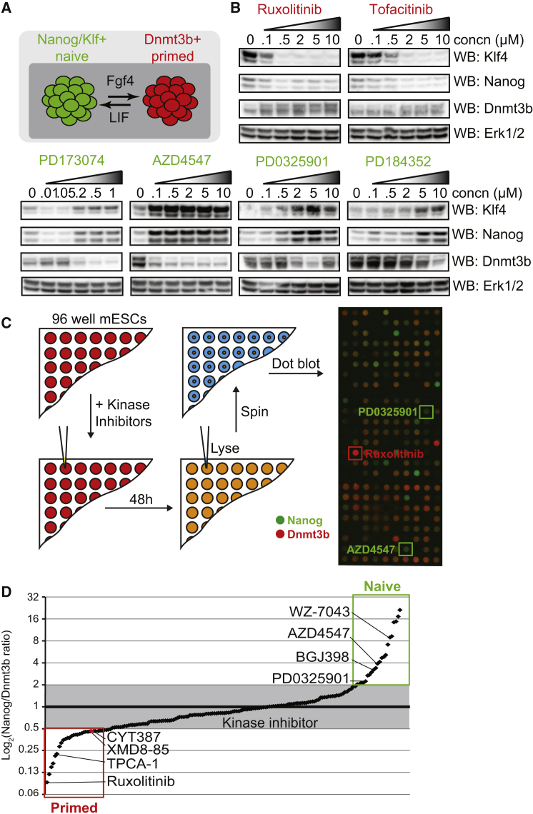 Systematic Identification of Kinase Inhibitors that Modulate Naive-Primed Pluripotent Transition (A) mESCs cultured in LIF/FBS transitioning between naive (green) and primed (red) pluripotent states. (B) mESCs were treated with the indicated concentrations of Jak inhibitors (ruxolitinib and tofacitinib), Fgfr inhibitors (PD173074/AZD4547), or Mek1/2 inhibitors (PD0325901/PD184352). Klf4, Nanog, Dnmt3b, and Erk1/2 levels were determined by immunoblotting. (C) 228 potent and selective kinase inhibitors were screened at 1 μM for effects on pluripotency signature. Nanog and Dnmt3b expression was determined for each inhibitor and images overlaid. Selected positive control inhibitors are highlighted. (D) The Nanog:Dnmt3b ratio for each kinase inhibitor was determined and inhibitors ranked accordingly. Inhibitors found to alter Nanog:Dnmt3b beyond a 2-fold threshold were identified as drivers of naive or primed pluripotency. Selected positive control inhibitors are highlighted. See also Tables S1 and S2 .