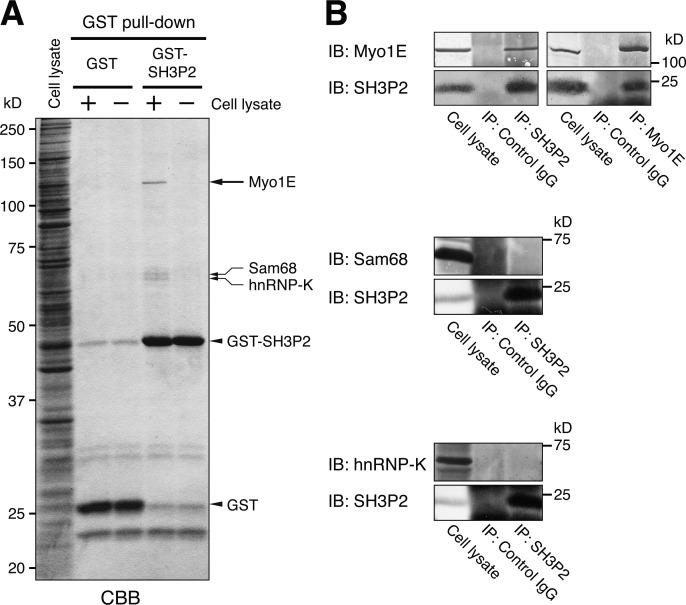 SH3P2 specifically interacts with Myo1E. (A) Glutathione-Sepharose beads coupled with GST or GST-SH3P2 were incubated with MKN1 cell lysates (+) or with the lysis buffer alone (−), after which bead-bound proteins were subjected to SDS-PAGE followed by staining with Coomassie brilliant blue (CBB). Bands corresponding to proteins of ∼120, ∼68, and ∼66 kD (arrows) pulled down by GST-SH3P2 were identified by MS analysis as Myo1E, Sam68, and hnRNP-K, respectively. (B) MKN1 cell lysates were subjected to immunoprecipitation (IP) with antibodies to SH3P2 or to Myo1E (or with control IgG), and the resulting precipitates as well as the whole-cell lysates (10% of the input for immunoprecipitation) were subjected to immunoblot analysis (IB) with antibodies to the indicated proteins. All data are representative of at least three separate experiments.