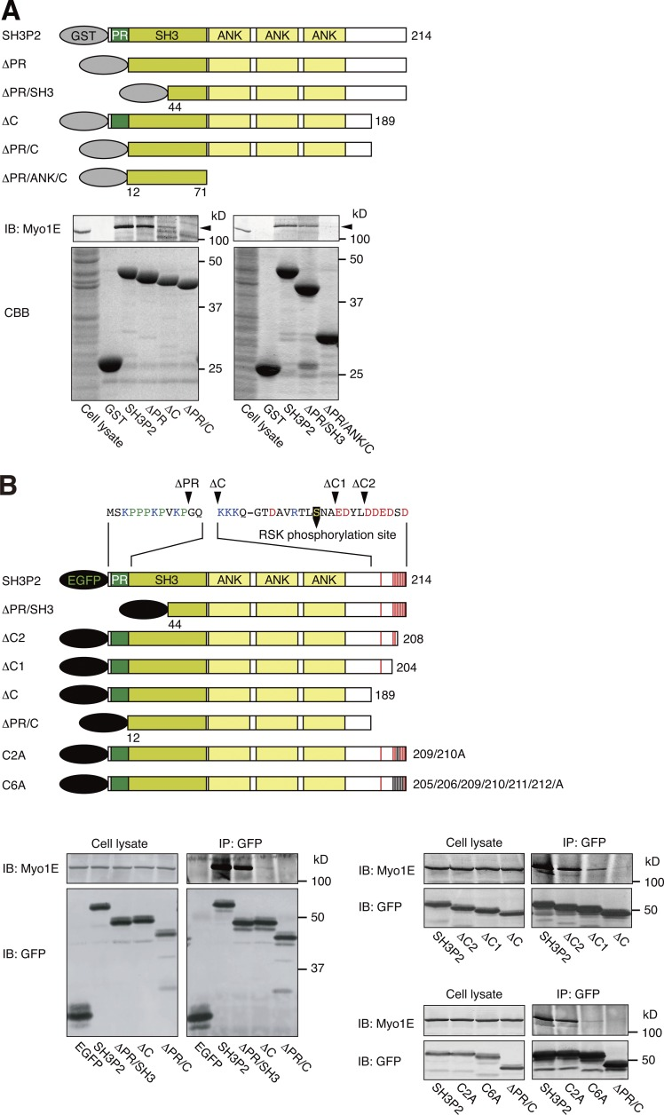 SH3P2 interacts with Myo1E via its N-terminal proline-rich region and C-terminal acidic amino acid cluster. (A) Glutathione-Sepharose beads coupled with GST or GST-tagged wild-type or indicated mutant forms of human SH3P2 were incubated with MKN1 cell lysates, after which bead-bound proteins as well as the whole-cell lysates (10% of the input for the pull-down assays) were subjected to SDS-PAGE followed by staining with Coomassie brilliant blue (CBB) or immunoblot analysis (IB) with antibodies to Myo1E. Arrowheads indicate the Myo1E band. (B) MKN1 cells were transfected for 24 h with vectors encoding EGFP-tagged wild-type or mutant forms of human SH3P2, lysed, and subjected to immunoprecipitation (IP) with antibodies to GFP. The resulting precipitates as well as the whole-cell lysates (10% of the input for immunoprecipitation) were subjected to immunoblot analysis with antibodies to Myo1E and to GFP. Amino acid sequences of the PR region and the C-terminal acidic amino acid cluster are shown. The RSK phosphorylation site (Ser 202 ), acidic amino acids, basic amino acids, and proline are indicated in yellow, red, blue, and green, respectively. All data are representative of at least three separate experiments.