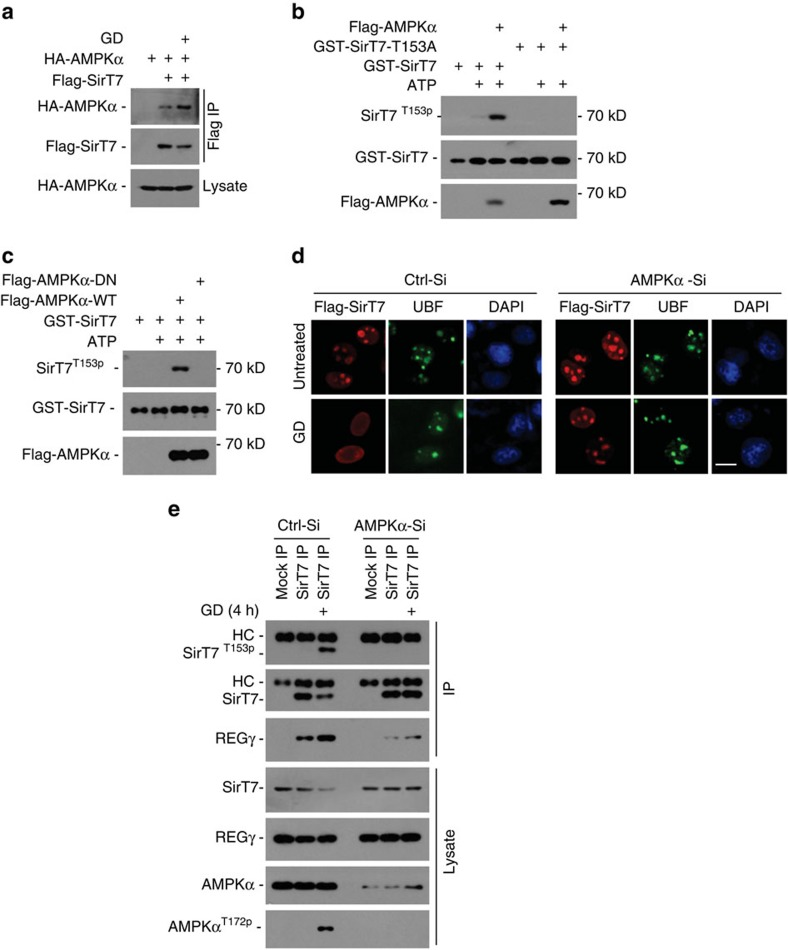 AMPK directly regulates SirT7 phosphorylation and subcellular distribution under starvation. ( a ) 293T cells transfected with Flag-SirT7 and HA-AMPKα plasmids were treated with or without GD (4 h), followed by immunoprecipitation with FLAG-M2 beads. The precipitated proteins were analysed by western blot using anti-Flag or anti-HA antibody. ( b ) In vitro phosphorylation of SirT7 by activated AMPKα. GST-SirT7-WT or -153A mutants were expressed in E.coli and purified with GST beads. Activated Flag-AMPKα was precipitated from GD (6 h) treated Flag-AMPKα-overexpressing 293T cells using FLAG-M2 beads and eluted with Flag peptide. GST-SirT7-WT or -153A proteins were incubated with or without Flag-AMPKα in the presence or absence of ATP as indicated. The reaction product was separated by SDS-PAGE and analysed by western blot. ( c ) Similar in vitro kinase assay was performed as detailed for ( b ), except that the kinase-dead AMPKα D159A (AMPK-DN) mutant was used. ( d ) HeLa cells with AMPKα knockdown (AMPKα-Si) or control Si-RNA (Ctrl-Si) were transfected with Flag-SirT7 following GD (12 h) treatment, then immunostained with anti-Flag (red) or anti-UBF (green) antibodies (scale bar, 10 μm). Nuclei were stained with DAPI. ( e ) HeLa cells with AMPKα knockdown or control Si-RNA were treated with GD (4 h) followed by immunoprecipitation with anti-SirT7 antibody and western blot analysis. AMPK activation was confirmed by its phosphorylation at Thr-172.