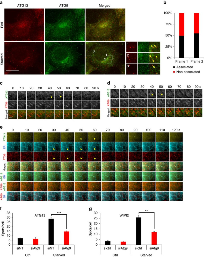 ATG9 promotes the formation of ATG13 puncta. ( a ) HEK293 cells were either fed or starved for 1 h, immunolabelled for ATG13 and ATG9 and imaged by wide-field microscopy. Arrowheads in inserts point at ATG13 particles associating with ATG9. Bar corresponds to 10 μm. ( b ) Values are ATG13 particles in c , d associating with ATG9 particles in the first two frames from their emergence. From analysis of 75 montages. ( c , d ) Wide-field live-cell imaging of starved HEK293 cells stably expressing GFP-ATG13 and mRFP-ATG9. Representative montages of ATG13 particles forming in association with ATG9 ( c ) or not ( d ) are shown. Arrowheads point at the ATG13 particles in the first two frames from their emergence, the same that were used for the analysis in b . ( e ) Wide-field live-cell imaging of starved HEK293 cells expressing stably GFP-ATG13 and mRFP-ATG9, and transiently CFP-ER. Representative montage of ATG13 particle forming on a tubular extension of ER previously hosting an ATG9 vesicle is shown. Arrowheads point at the ATG13 particle in the first two frames from its emergence and at the associating extension of ER and ATG9 vesicle. ( f , g ) HEK293 cells were transfected with non-targeted (siNT) or ATG9 (siATG9) siRNA, starved for 1 h, immunolabelled for ATG13 or WIPI2 and imaged by confocal laser scanning microscopy. Values are means±s.e.m. puncta of ATG13 ( f ) or WIPI2 ( g ) per cell, for at least five different fields with 15–30 cells each. Significance levels were determined with unpaired t -tests. Bar in c – e corresponds to 300 nm. ** P =0.01%; *** P =0.001%.