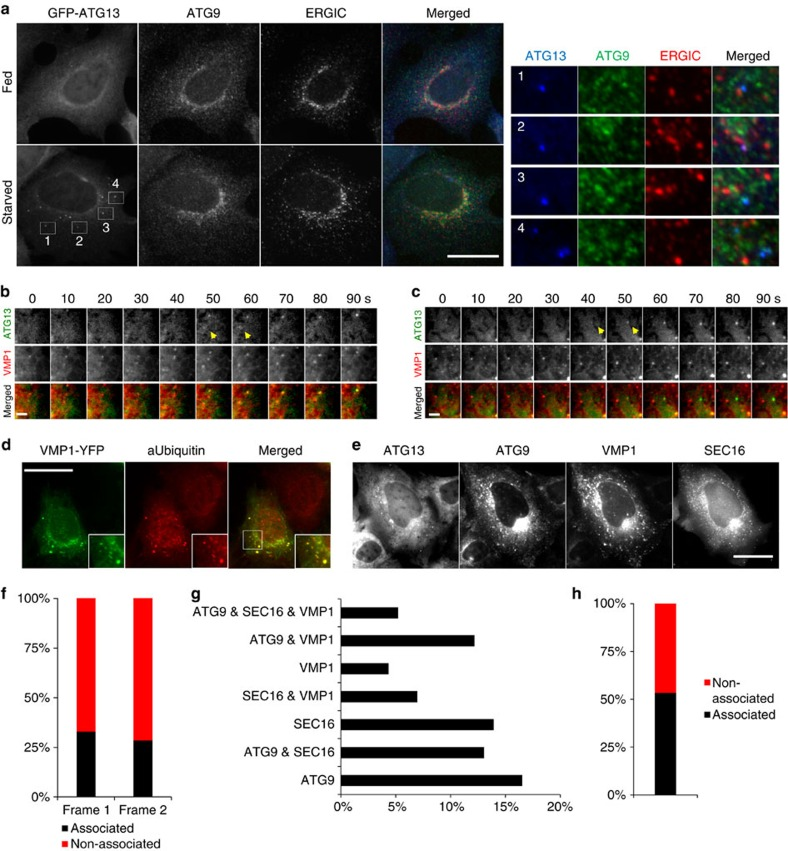 Combination of ERES-ATG9-VMP1 compartments can only partially predict the site of autophagosome nucleation. ( a ) HEK293 cells stably expressing GFP-ATG13 were fed or starved, immunolabelled for ATG9 and ERGIC53 and imaged by wide-field microscopy. Bar corresponds to 10 μm. ( b , c ) Wide-field live-cell imaging of starved HEK293 cells expressing stably GFP-ATG13 and transiently VMP1-mCherry. Representative montages of ATG13 particles forming in association with VMP1 ( b ) or not ( c ) are shown. Arrowheads point at the ATG13 particles in the first two frames from their emergence, the same that were used for the analysis in f . ( d ) HEK293 cells transiently expressing VMP1-YFP were immunolabelled for ubiquitin and imaged by wide-field microscopy. Representative images are shown. Bar corresponds to 10 μm. ( e ) Wide-field live-cell imaging of starved HEK293 cells expressing stably GFP-ATG13 and mRFP-ATG9 and transiently CFP-SEC16 and VMP1-LSS-mKate2. Representative images of a cell expressing the four proteins are shown. Bar corresponds to 10 μm. ( f ) Values are ATG13 particles in b , c associating with VMP1 in the first two frames from their emergence. From analysis of 67 montages. ( g , h ) Values are ATG13 particles associating with any of ATG9, SEC16 and VMP1 ( g ) or with different combinations of them ( h ) in the first two frames from their emergence. Bar in b , c corresponds to 300 nm.