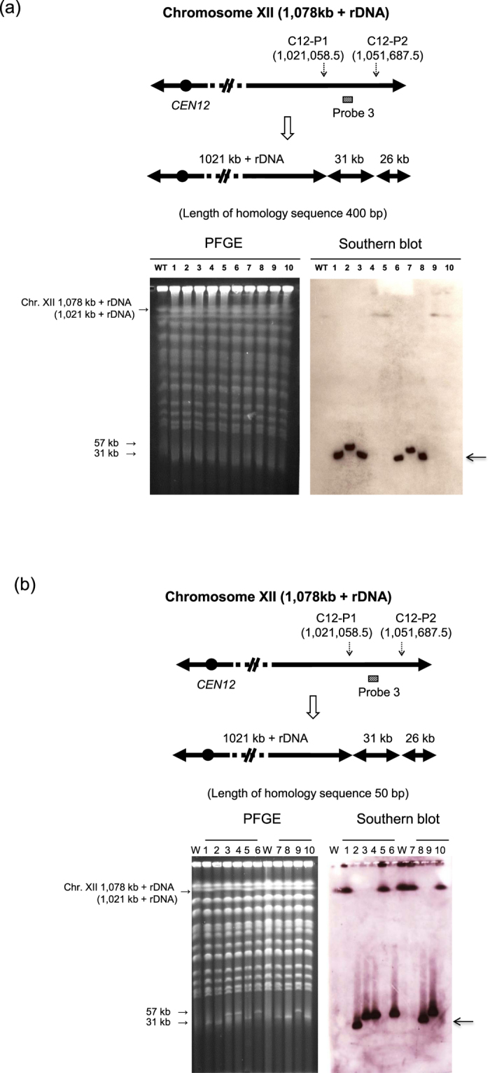 One step mini-chromosome construction by CRISPR-PCS. ( a ) One step mini-chromosome construction using CRISPR-PCS. The chromosomal region between C12-P1 and C12-P2 of Chr. XII was targeted to form a mini-chromosome. A 400 bp homology sequence was used in the splitting modules. The splitting modules of C12-P1 and C12-P2 were marked with CgHIS3 and CgLEU2 , respectively. Left panel, PFGE analysis of wild type <t>FY834-Cas9</t> and 10 randomly chosen transformants. Right panel, Southern blot analysis after PFGE using probe 3 for detection of newly generated 31 kb mini-chromosome. The arrow beside the right panel represents the 31 kb expected mini-chromosome (lane 1, 3, 6, and 8). The 57 kb band in lane 2 and 7 show these strains have only one split at C12-P1. ( b ) One step mini-chromosome construction using CRISPR-PCS under the same experimental conditions as above except for use of a 50 bp homology sequence in the splitting module. The splitting modules of C12-P1 and C12-P2 were marked with CgHIS3 and CgLEU2 , respectively. The arrow beside the right panel represents the 31 kb expected mini-chromosome. The expected mini-chromosome was constructed in two strains (Lane 2 and 8). Four strains are shown to have single splitting at C12-P1 (Lane 3, 4, 6, and 9). Four strains are shown to have single splitting at C12-P2 (Lane 1, 5, 7, and 10). W. Wild type.
