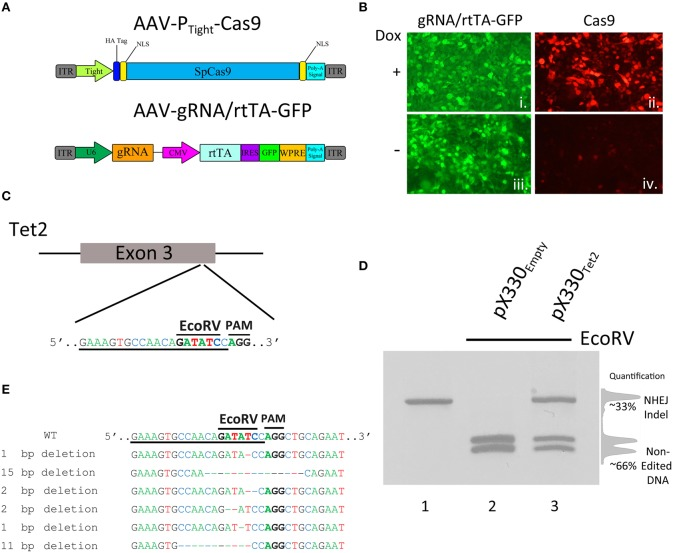 (A) AAV vector maps depicting AAV-P Tight -Cas9 and AAV-gRNA/rtTA. AAV-P Tight -Cas9 consists of a Cas9 transgene under the control of a Dox inducible Tight promoter. AAV-gRNA/rtTA consists of a gRNA expression cassette and a rtTA (Tet-On Advanced) transgene controlled by a CMV promoter. It also is designed to express GFP via an IRES element following the rtTA reading frame. (B) ICC for Cas9 and GFP was performed on 293FT cells transduced by AAV-P Tight -Cas9 and AAV-gRNA/rtTA viruses in the presence or absence of Dox. Native GFP expression is visible in virtually all of the cells (i, iii). Cas9 expression is robustly induced in the presence of Dox (ii), compared to the no Dox condition (iv). Representative images are shown. The experiment was repeated twice with similar results. (C) Diagram depicting the approximate location of where the Tet2 gRNA targets the Tet2 locus. Underlined nucleotides indicate the sequence of the Tet2 gRNA. Location of the EcoRV site and PAM sequence are denoted. (D) An approximate 460 bps region of the Tet2 locus that includes the site targeted for editing via the gRNA Tet2 , was PCR amplified from N2A genomic DNA and electrophoresed on a standard agarose gel and stained with ethidium bromide (lane 1). N2A cells were transfected with the pX330 Empty , a plasmid designed to express spCas9 and no gRNA, and 96 h later, the genomic DNA was isolated and the Tet2 locus was PCR amplified and subjected to EcoRV digestion. The PCR product was cut into two pieces of DNA as expected (lane 2). However, when N2A cells were transfected with pX330 Tet2 and similarly processed, the PCR product was incompletely digested resulting in a total of three bands on the gel - one uncut PCR product (~460 bps) and two smaller bands. In this case the genome editing was ~33%. (E) Edited DNA depicted in ( D , lane 3) was gel purified and TA cloned and 6 independent clones were sequenced. These 6 clones contained deletions which destroyed the EcoRV site.
