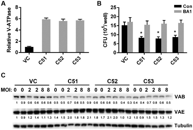 Effects of collagen α-5(IV) chain (Col4a5) knockdown on the <t>V-ATPase</t> activity and subunit expression in Raw264.7 macrophages. (A) Relative microsomal V-ATPase activity in control (VC) and Col4a5-knockdown (C51, C52 and C53) macrophage cell lines. (B) Colony forming units (CFUs) of mycobacterium bovis Calmette-Guérin ( BCG ) were counted in VC, C51, C52 and C53 cell lines infected with BCG at MOI 3, which were treated with the V-ATPase-specific inhibitor <t>bafilomycin</t> A1 (BA1) or in controls (Con). (C) Western blot analysis detected protein bands of the V-ATPase subunits B (VAB) and E (VAE) in VC, C51, C52 and C53 cell lines without BCG infection (MOI 0) or with BCG infection (MOI 2, 8). Tubulin served as loading control. * P