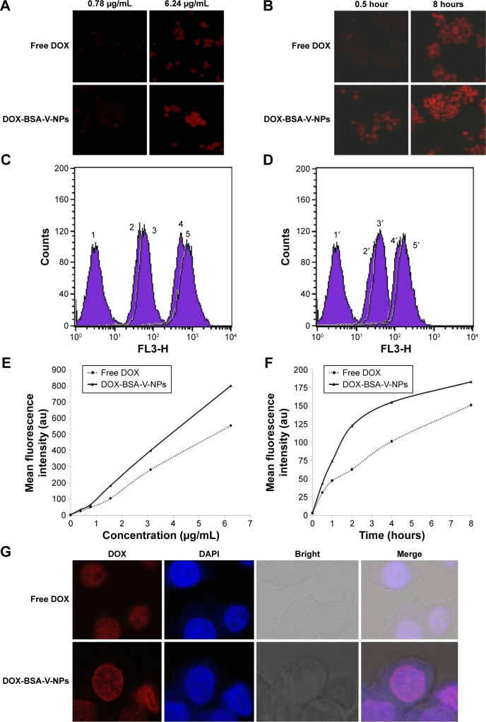 Cellular uptake of free DOX and <t>DOX-BSA-V-NPs.</t> Notes: Cellular internalization of free DOX and DOX-BSA-V-NPs observed by ( A , B ) inverted fluorescence microscopy (100× magnification), ( C – F ) flow cytometry, and ( G ) CLSM (400× magnification). ( C ) 1, control; 2, free DOX (0.78 μg/mL, 2 hours); 3, DOX-BSA-V-NPs (0.78 μg/mL, 2 hours); 4, free DOX (6.24 μg/mL, 2 hours); 5, DOX-BSA-V-NPs (6.24 μg/mL, 2 hours). ( D ) 1′, control; 2′ free DOX (1.56 μg/mL, 0.5 hours); 3′, DOX-BSA-V-NPs (1.56 μg/mL, 0.5 hours); 4′, free DOX (1.56 μg/mL, 8 hours); 5′, DOX-BSA-V-NPs (1.56 μg/mL, 8 hours). ( E ) Concentration-dependent uptake of free DOX and DOX-BSA-V-NPs. The cells were exposed to various concentrations of the DOX formulations at 37°C for 4 hours, and subsequently determined by flow cytometry. ( F ) Time-dependent uptake of free DOX and DOX-BSA-V-NPs. The cells were treated with the DOX formulations at a concentration of 1.56 μg/mL at 37°C and then analyzed by flow cytometry. ( G ) DOX (1.56 μg/mL, 4 hours) and DOX-BSA-V-NPs (1.56 μg/mL, 4 hours). Abbreviations: BSA, bovine serum albumin; CLSM, confocal laser scanning microscopy; DAPI, 4′,6-diamidino-2-phenylindole; DOX, doxorubicin; NPs, nanoparticles; V, vanillin.