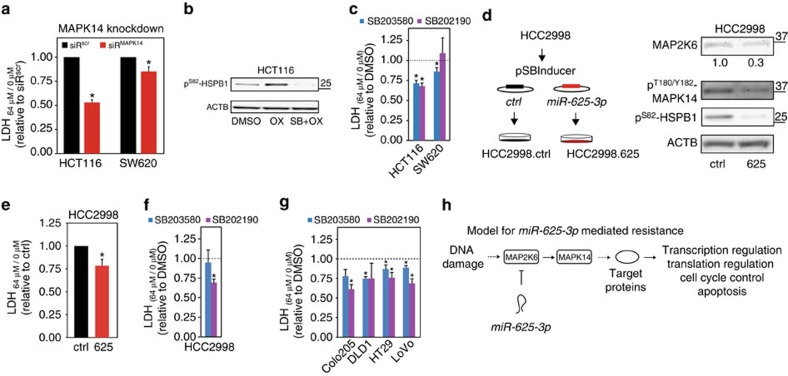 Inhibition of MAPK14 induces oxaliplatin resistance in CRC cells. ( a ) MAPK14 was specifically depleted from HCT116 and SW620 cells by transfection of a pool of MAPK14 targeting siRNAs (siR MAPK14 ) 48 h before being treated with 64 μM oxPt for 48 h (or left unexposed; see Supplementary Fig. 9 for knockdown efficiencies). The impact on cell death (64 μM/0 μM) was determined by LDH and are displayed relative to cells transfected with a scrambled siRNA (siR scr , set to 1). Mean±s.e.m. from at least n =4 experiments with '*' indicating a significant reduction in oxPt-induced cells death compared with siR scr transfected cells ( P ≤0.05, t -test). ( b ) A phospho-specific western blot versus the MAPK14/MAPKAPK2 substrate Ser82-HSPB1 was applied to show increased MAPK14 activity after oxPt treatment and the inhibitory effect of 10 μM SB203580 on this activity. ( c ) HCT116 and SW620 cells were treated for 1 h with MAPK11/14 inhibitors SB203580 (10 μM, blue) or SB202190 (5 μM, purple), then exposed to 64 μM oxPt (or left unexposed) for 48 h before the increase in cell death (64 μM/0 μM) was determined by LDH. Presented relative to cells not treated with inhibitor (DMSO treated; mean±s.e.m. from at least n =4 experiments with '*' indicating a significant reduction in oxPt-induced death compared with DMSO-treated cells, P ≤0.05, t -test). ( d ) Stable, inducible expression of miR-625-3p was generated using pSBInducer transposition in HCC2998 CRC cells (left). Phospho-specific western blot for MAP2K6 and MAPK14 activity 48 h after DOX induction of HCC2998.ctrl and HCC2998.625 cells (right). ( e ) HCC2298.ctrl and HCC2998.625 cells DOX-induced for 48 h, then treated (or left untreated) with 64 μM oxPt for 48 h before the increase in cell death (64 μM/0 μM) was determined by LDH. Results are displayed relative to control cells (set to 1; mean±s.e.m. from n =3 experiments; * P ≤0.05, t -test). ( f , g ) HCC2998, Colo205, DLD1, HT29 and LoVo CRC cells were treated for 1 h with