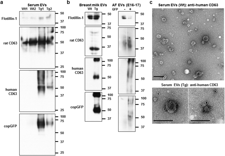 Analysis of the EVs labelled with human CD63-GFP in the three body fluids. ( a , b ) Western blotting analysis of the EVs isolated from serum ( a ), breast milk and AF ( b ) of Wt and Tg rats for flotillin-1, rat CD63, human CD63 and copGFP. AF samples were collected from pregnant Tg rats at E16–17 after mating with Wt males. GFP−: GFP-negative foetuses. GFP+: GFP-positive foetuses. ( c ) Immunoelectron microscopy images of serum-derived EVs from Wt and Tg rats using anti-human CD63 antibody (10 nm gold particles). Scale bars = 200 nm.