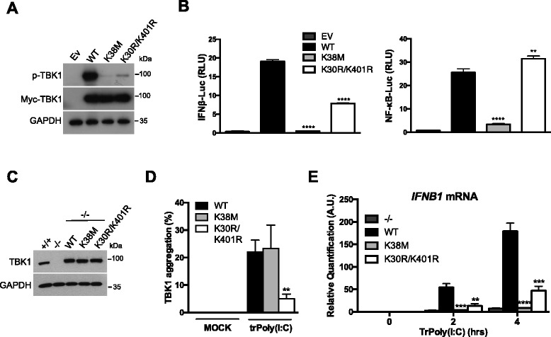 Ubiquitination promotes TBK1 targeting to the Golgi apparatus for activation. a HEK293T cells were transfected with an empty vector (Ev) or with plasmids encoding myc-tagged WT TBK1 (WT), TBK1 K38M (K38M), or TBK1 K30R/K401R (K30R/K401R). After 16 h, TBK1 activation and exogenous TBK1 expression were assessed by immunoblotting with anti-p-TBK1 S172 and anti-myc antibodies, respectively. GAPDH was used as a loading control. b HEK293T cells were transfected with either an IFNβ promoter reporter or an NF-κB reporter, together with the Renilla luciferase gene as an internal control. In parallel, the cells were also transfected with an Ev or with plasmids encoding myc-tagged WT TBK1 (WT), TBK1 K38M (K38M), or TBK1 K30R/K401R (K30R/K401R). Luciferase assays were performed 24 h after transfection and the results were normalized against Renilla luciferase activity. The data shown are means ± SD from three independent experiments (analysis of variance and comparison with WT TBK1 in Student's t test). RLU, relative luminescence units. c Immunoblotting analysis of TBK1 –/– MEFs reconstituted with WT TBK1, TBK1 K38M (K38M), or TBK1 K30R/K401R (K30R/K401R). As controls, TBK1 +/+ and TBK1 –/– MEFs are shown. d TBK1 –/– MEFs reconstituted with WT TBK1 or mutants were either left untreated (MOCK) or transfected with HMW poly(I:C) (5 μg/mL) for 4 h (trPoly(I:C)). TBK1 aggregation was then assessed by immunofluorescence staining and counting of the aggregates. The data shown are means ± SD from three independent experiments (300 cells were counted per condition). **0.001