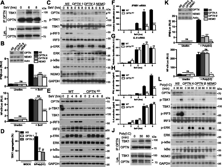 OPTN silencing impairs TBK1 activation after RLR or TLR3 activation. a HEK293T cells were either left unstimulated or infected with Sendai virus (SeV) for 6 and 8 h. Cell lysates (Lys.) were subjected to immunoprecipitation (IP) with an antibody against OPTN. Samples were then analyzed by immunoblotting with antibodies against the indicated proteins. b HEK293T cells were transfected with a control non-specific siRNA (NS) or with two individual OPTN-specific siRNAs (OPTN A and OPTN B) or a NEMO-specific siRNA. The cells were then transfected, 48 h later, with an IFNβ promoter reporter or with a NF-κB reporter and the Renilla luciferase gene as an internal control. Then, 24 h after transfection, cells were either left unstimulated (Unstim) or infected with Sendai virus (+ SeV) for 7 h. Luciferase assays were performed and the results were normalized against Renilla luciferase activity. The data shown are means ± SD from three independent experiments. **** P